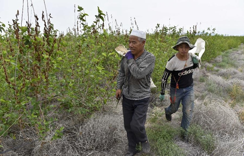 Mulberry trees planted to fight against desertification in Xinjiang