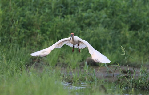 Endangered crested ibis seen at riverside in NW China