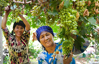 Xinjiang's grapes ripened earlier due to scorching July