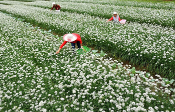 Garlic chives flowers bloom in China's Shandong