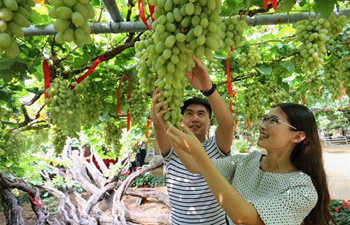 In pics: grape picking in N China's Hebei