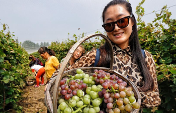 Grapes enter harvest season in Beijing