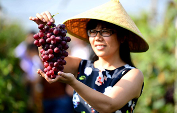 Tourists pick grapes at vineyard in N China's Hebei
