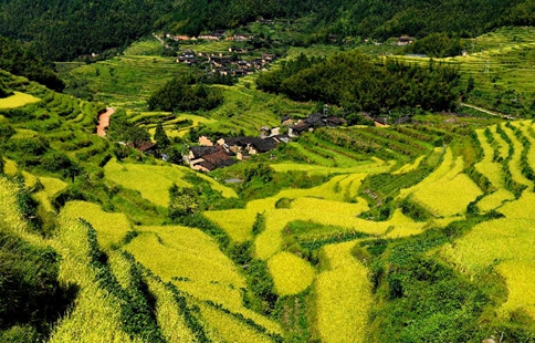Scenery of terraced fields at Wuyishan in SE China's Fujian