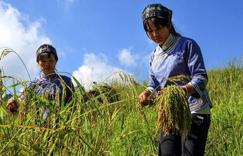 "Zhuang ethnic people make ""Changqing"" rice in S China's Guangxi"