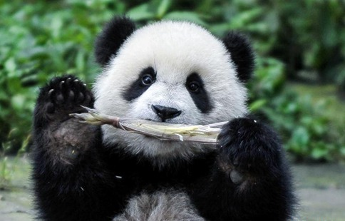 China to build cross-provincial national park for giant panda