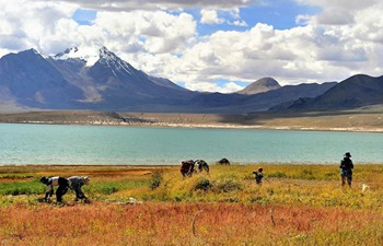 Villagers harvest herbage for cattle in China's Tibet