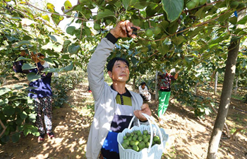 Mini kiwi fruits enter harvest season in NE China's Liaoning