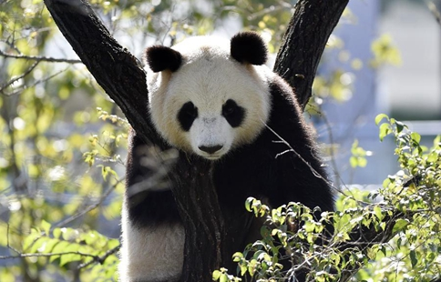 Four pandas from SW China make debut in NE China's Shenyang