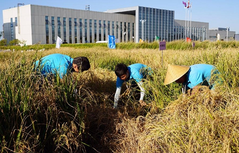 China Focus: Chinese saline soil rice experiment a success
