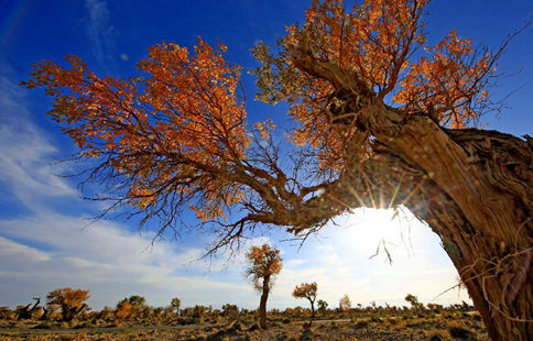Autumn scenery of golden populus diversifolia trees in China's Xinjiang