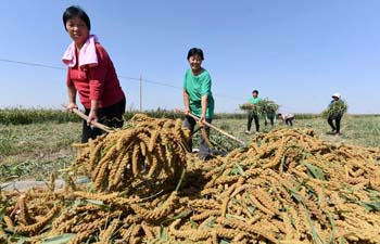 Farmers harvest foxtail millet in N China's Hebei