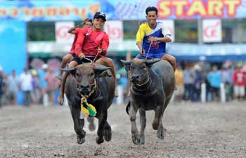 Annual buffalo racing held in Thailand