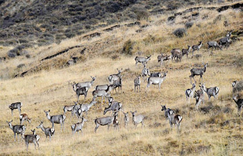 In pics: semi-wild red deer, sika deer in NW China's Qinghai