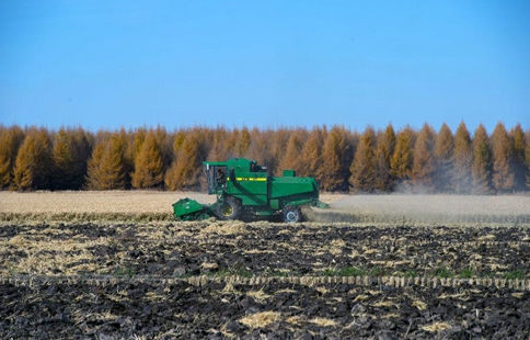 Farmers harvest paddy in NE China's Heilongjiang