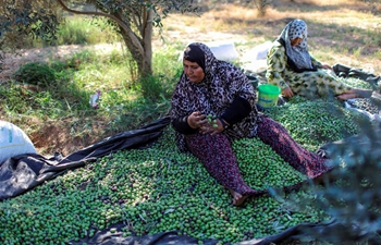 Olive harvest season starts in Gaza