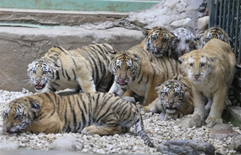 12 tiger cubs meet with public at wildlife zoo in China's Shandong