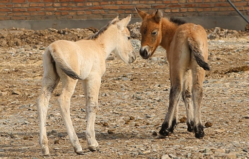 Two foals of rare Przewalski's horse born in China's Xinjiang