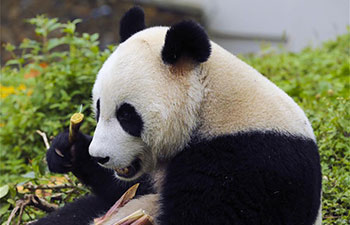 Sichuan's Shenshuping protection base home to over 50 giant pandas