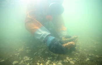 Fishermen harvest sea cucumbers in NE China