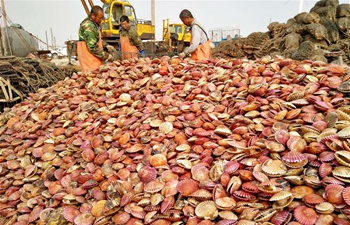 N China county sees good harvest of scallops