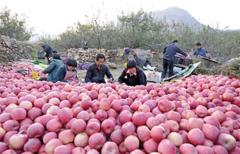 Apple harvest season falls in N China's Xingtai