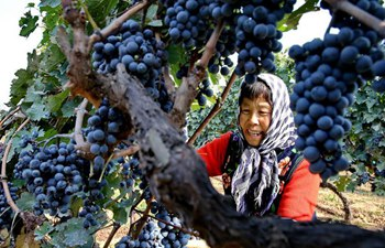China's Hebei witnesses harvest season of grape