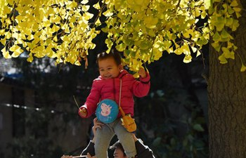 Tourists enjoy scenery of ginkgo trees in Tsinghua University