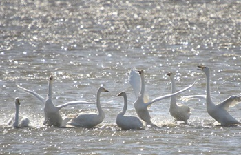 Whooper swans come to spend winter in E China's nature reserve
