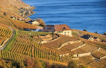 Late autumn scenery in vineyards in Switzerland