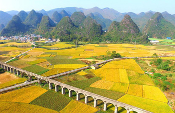 Late rice enters harvest season in Liuzhou, south China