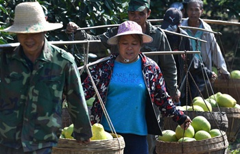 Farmers harvest pomelos in south China's Guangxi
