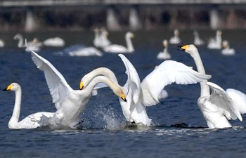 Whooper swans fly to spend winter in China's Shanxi