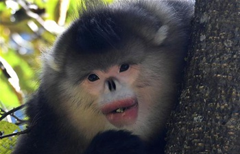 Black snub-nosed monkeys observed in S China's national park