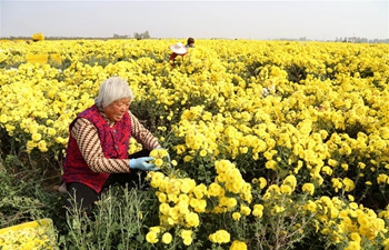 Chrysanthemums in full bloom in C China's Henan