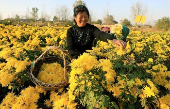 Chrysanthemum cooperatives in Anhui help housholds increase incomes