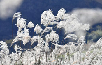 Beautiful reed catkins seen in China's Hubei
