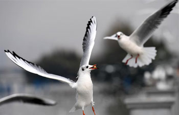 Black-headed gulls fly to China's Yunnan to spend winter