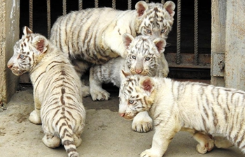 In pics: quadruplets of tiger cubs in E China's Jiangsu