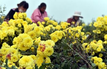 Farmers harvest chrysanthemums in C China's Henan
