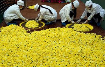 Chrysanthemum planting in Wuyuan County, east China's Jiangxi