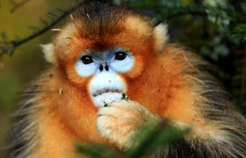 Golden monkeys seen in central China's Shennongjia