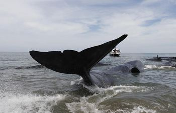 Sperm whales stranded at Ujong Kareung beach in Indonesia