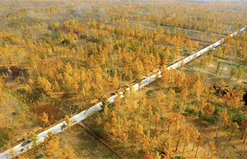 Scenery of ginkgo forest in E China's Shandong