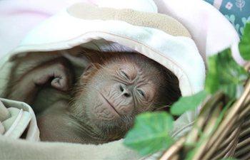 Baby orangutan meets public in Bandung Zoopark