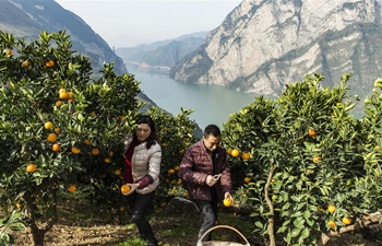 Navel oranges harvested in Zigui, C China