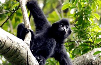 In pics: Protection of rare primate Hainan gibbon