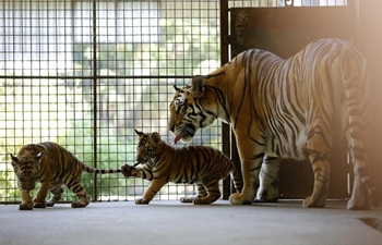 Two tiger cubs meet with public in Yangon Zoological Garden