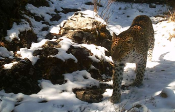 Infrared camera captures wild leopard in China's Qinghai