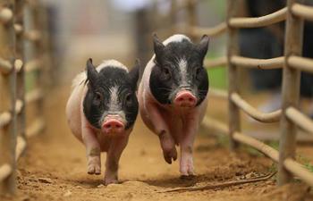 Piglets compete in race in Dalian